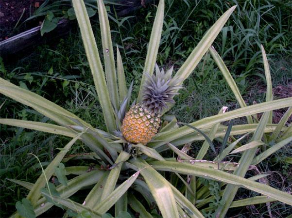 Come coltivare schede di coltivazione di piante e fiori - Pianta ananas ...