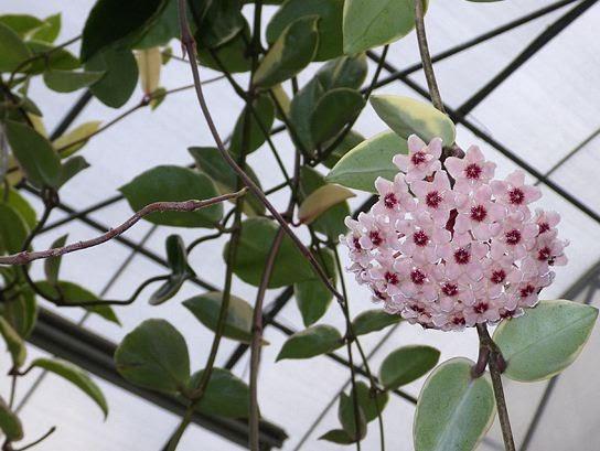 Come coltivare schede di coltivazione di piante e fiori for Pianta di cera