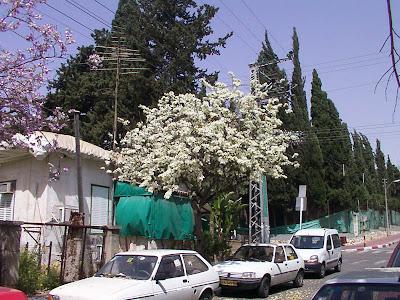 Israel árbol