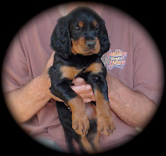 Gordon Setter Puppy at 6 Wks. Old