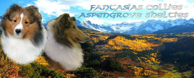 AspenGrove Shelties   Fantasias Collies