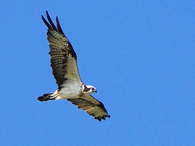 bird,osprey in flight,wildlife,nature