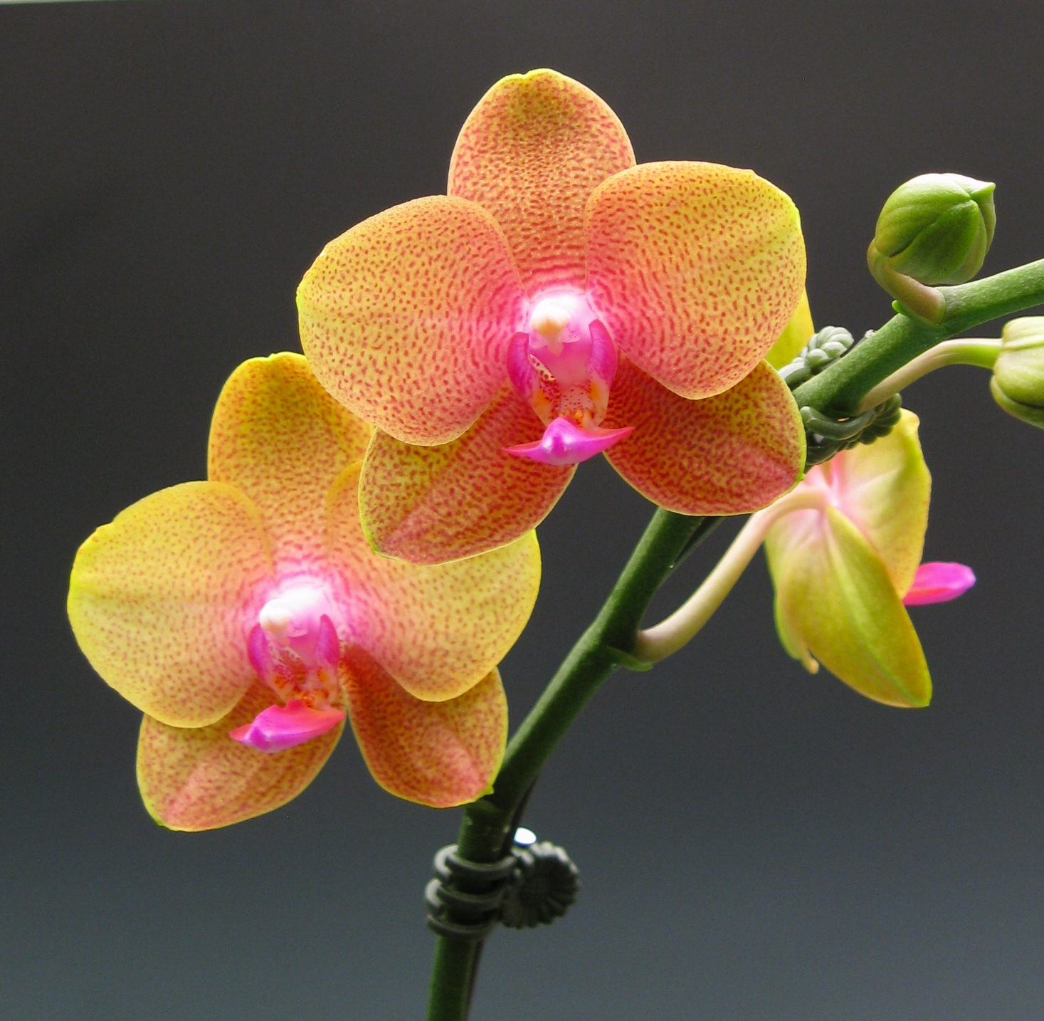 Buy Fresh Cut Orange Cymbidium Orchid From Hawaii & Thailand