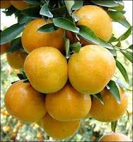 Shogun oranges