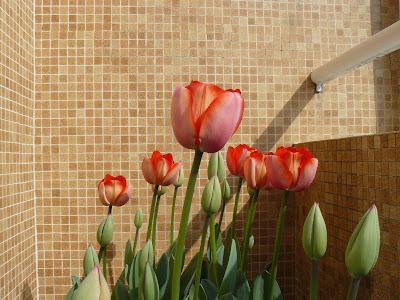 O colorido das tulipas