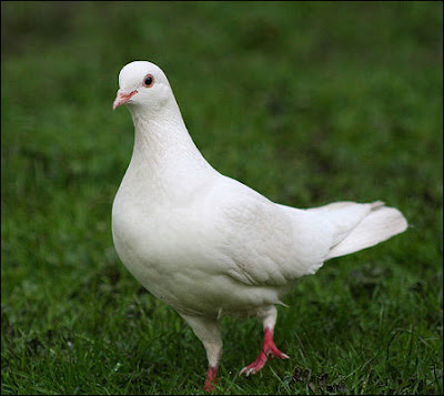 white feral pigeon