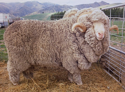 Woolshed 1 sheep breeds in new zealand - Matelas merinos cross system ...