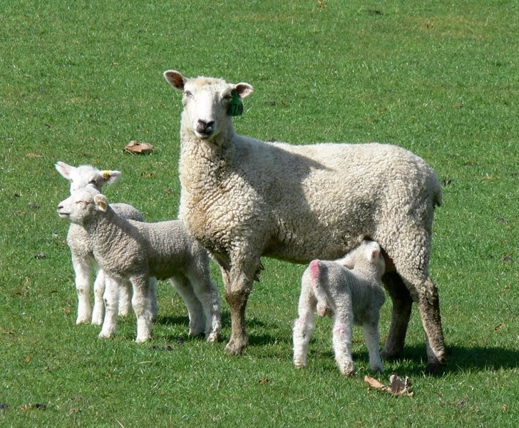 Can Lamb Cause Copper Toxicity In Dogs