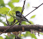 Black-throated Blue Warbler-Ohio