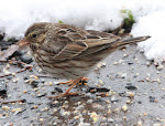 Savannah Sparrow in my yard