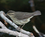 N. Waterthrush - Port Aransas