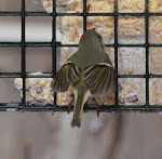 Ruby-crowned Kinglet at suet