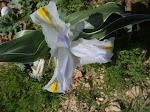 A special iris