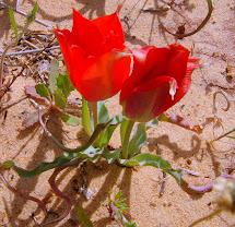 A desert tulip