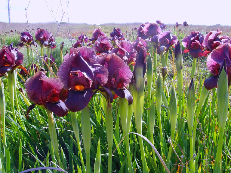 The glorious Poleg irises