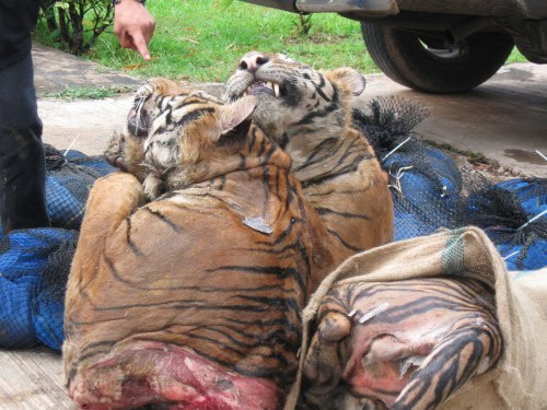 Tiger Penis Food