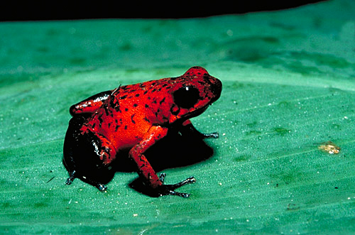 Year 2 Class Blog: Poison Arrow Frog