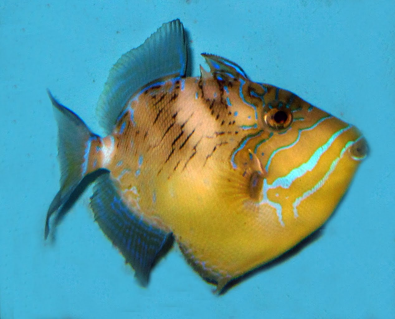 Queen Triggerfish Teeth first queen triggerfish in