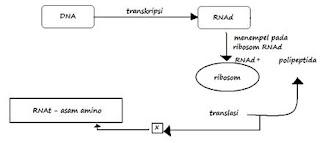 Arwimbaghastyko soal biologi genetika dan sintesis protein diagram langkah sintesis protein ccuart Images