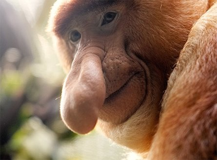Proboscis monkey, body part, nose