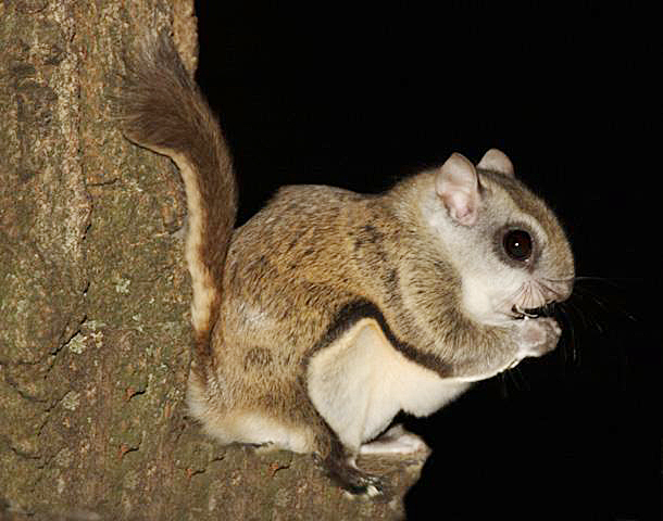 gal flying squirrel