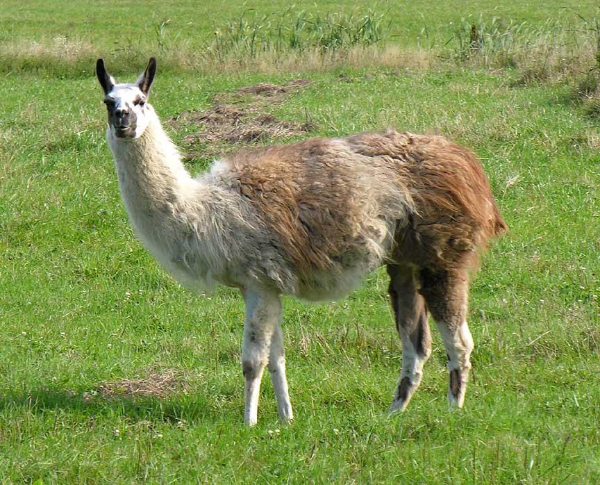 Llama Llamas The Animal
