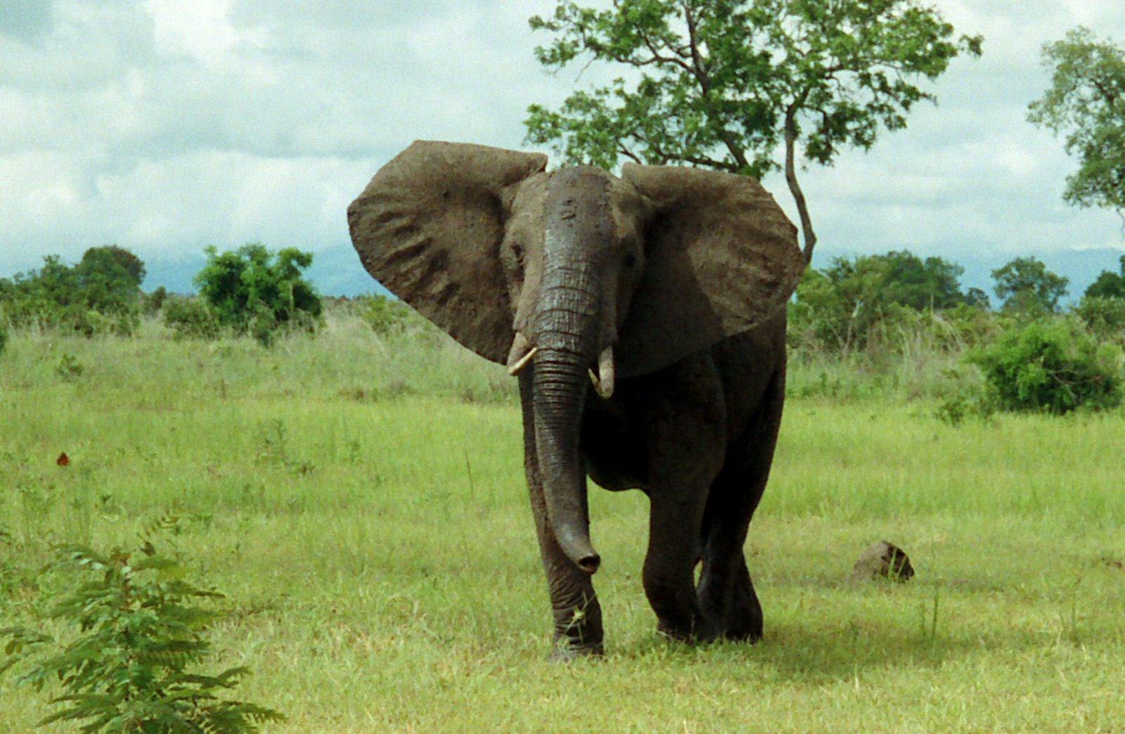 Http True Wildlife Blogspot Com 2010 12 African Bush Elephant Html