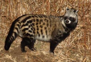 Animal de métamorphose : Nemo d'Amaël African+Civet+IMG_6918