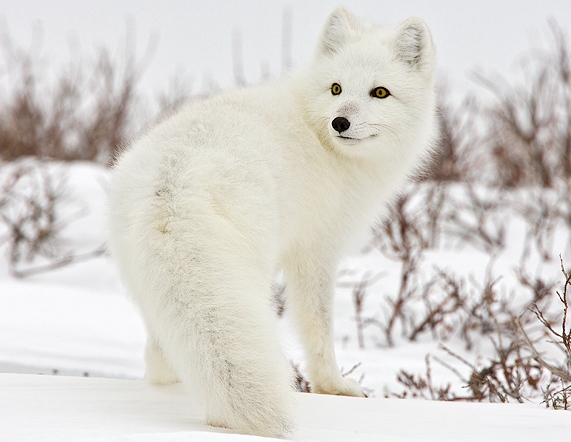 The Arctic fox tends to prey