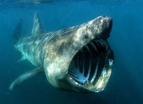 The Basking Shark
