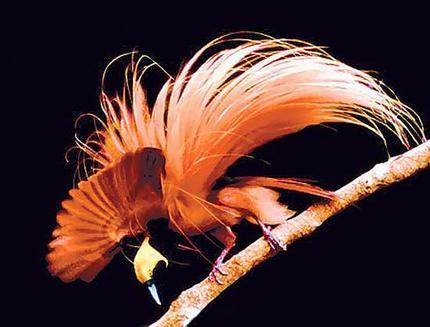 http://1.bp.blogspot.com/_W90V87w3sr8/TSn7oZ5G4xI/AAAAAAAAAns/lJkIs4-0rJM/s1600/birdofparadise-jw.jpg