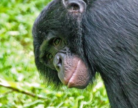 the characteristics of the bonobo a primate species The primates order are a part of the clade eutheria which is nested within the euarchontoglires clade of the class mammaliarecent molecular genetic research on primates, colugos, and treeshrews has shown that the two species of colugos are more closely related to the primates than the treeshrews, [5] even though the treeshrews.