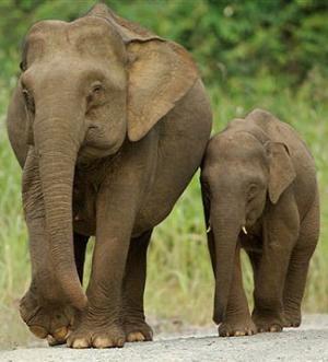 Message du Peuple des Éléphants 4 dans ELEPHANT borneo_elephant-776233