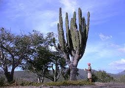 Cardón, Cactácea Gigante de la Baja
