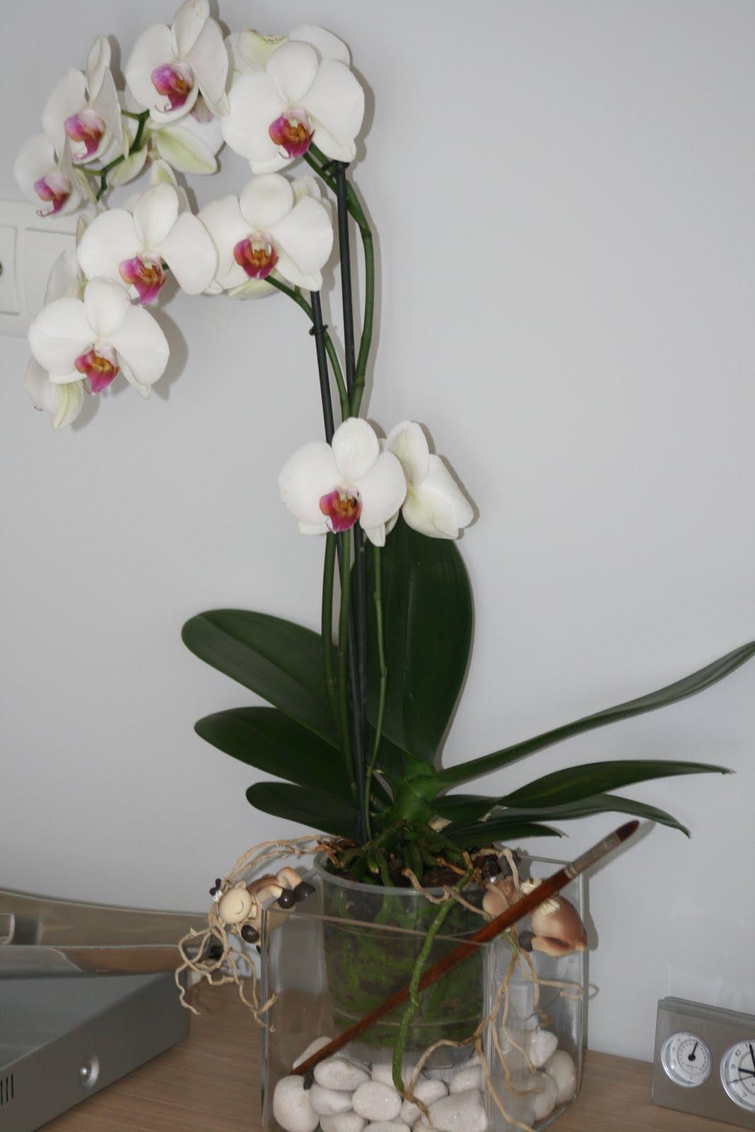 Kapritxets Mis Orqu 237 Deas Phalaenopsis