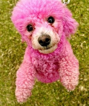 Sweet Petula I Bought A Pink Poodle Mold