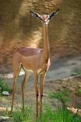 "Gerenuk (Englsih)-Garanuug (Somali) means ""giraffe-necked"" in Somali"