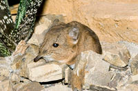 Somali short-eared elephant shrew