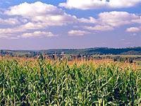 corn crop ethanol