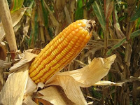 corn cob harvest ethanol