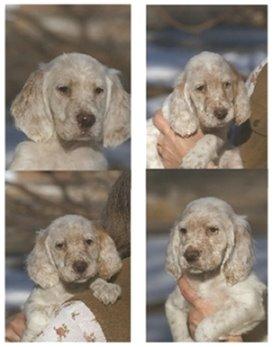 Bob's Innocent puppies ...