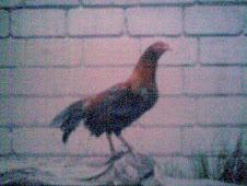 gallos culimbo o gallo sin cola, razas de gallos extraordinarios, los mejores ejemplares y razas producidas en Colombia