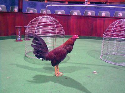 el ruedo para los pollos de pelea en colombia sitio de pelea
