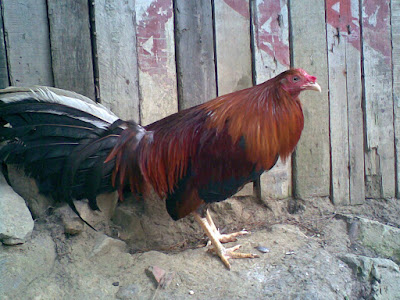 gallo en su mejor momento y con estilo del criadero zorro