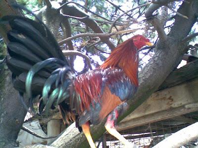gallo fino de pelea en una de las varas de un pino donde se alimenta y duerme
