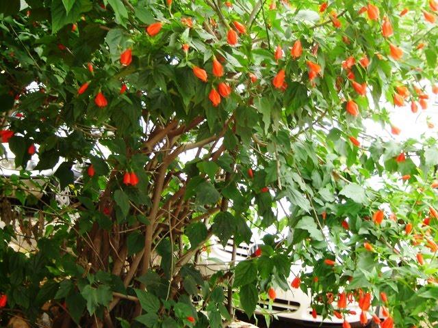flores vermelhas podem ser vistas durante quase o ano todo Muito