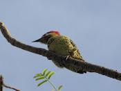 Identificando Pássaros
