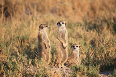 Meer Cats - The Kalahari