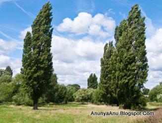 Enzim Dari bakteri Yang Hidup Di Akar Pohon Genus Populus Dapat Menyerap Limbah Beracun
