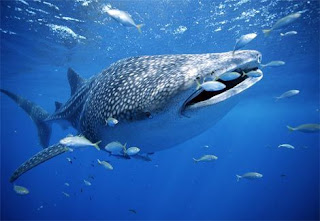 Ikan Hiu Paus Si Ikan terbesar